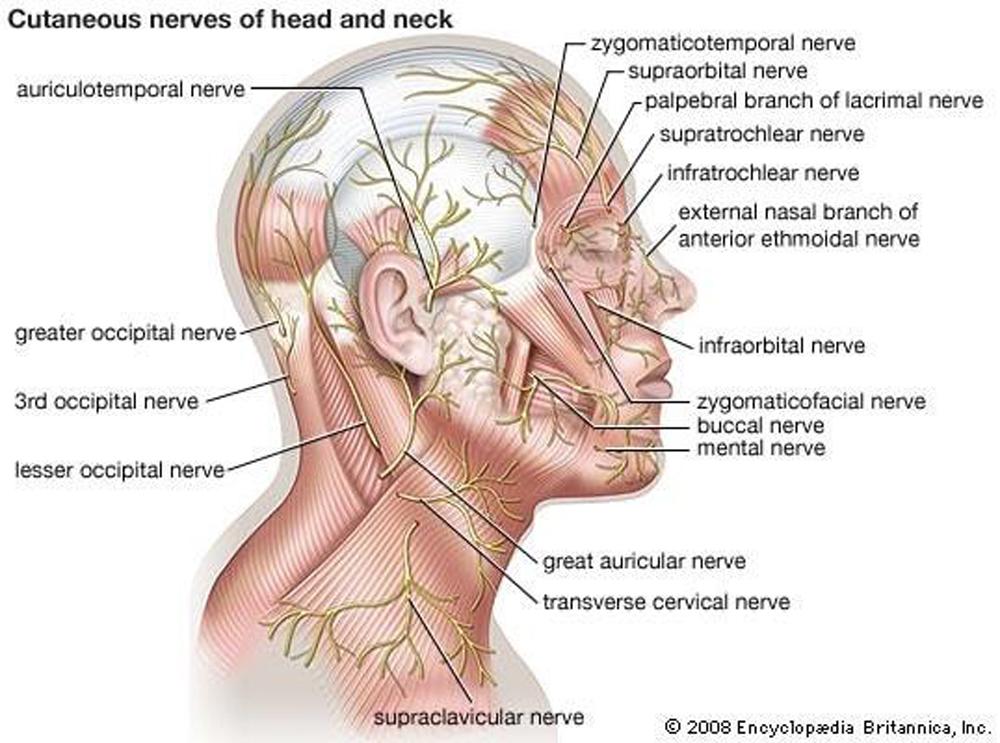 เส้นเลือดและเส้นประสาทที่สำคัญ