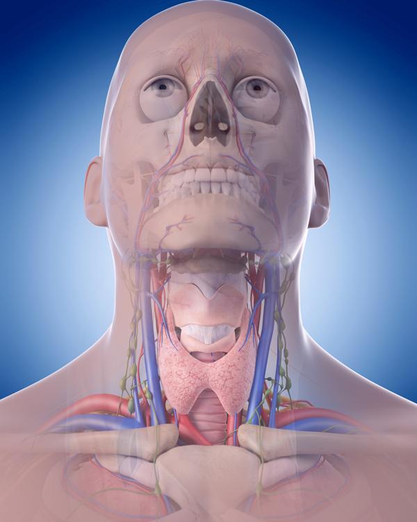 เส้นเลือดและเส้นประสาทบริเวณคอ